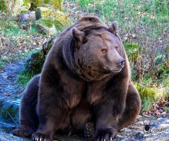 Brown Bear - Ursus arctos by TheFunnySpider