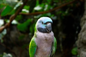 Female Derbyan Parakeet by AngelaRizza