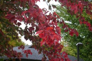 Fall 2010 - Red Maple by Eternal-Mothra