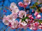 The Beauty of Cherry Blossom..... by Betuwefotograaf