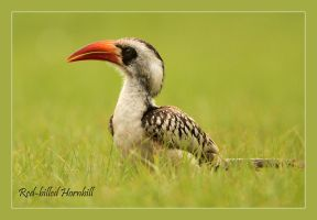 Red-billed Hornbill by Jamie-MacArthur
