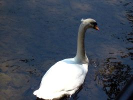 Swans 5 by Holly6669666
