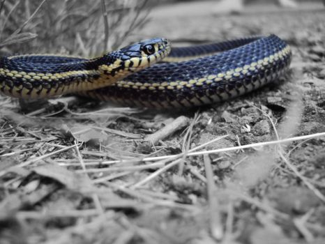 Garter Snake, re-colored by highlyimprobable