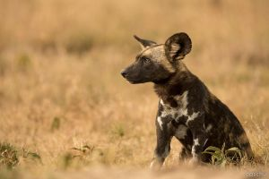 African wild dog by DaSchu