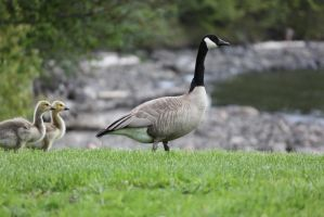 Baby Geese reminders of Spring Past by Fired-Imagination