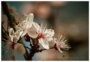 Blossoms by Misantropia
