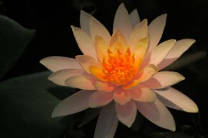 Illuminated Lily by FroglovinPhotogirl