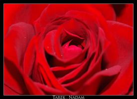 Flowers 88 - Red Rose by t1987n