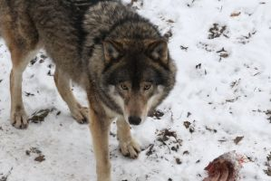 Image wolf in the snow by lindaatje