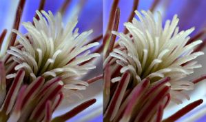 Clematis - 3D stereoscopic by Hector42
