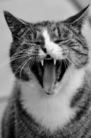 The Art of Yawning by cats I by pagan-live-style