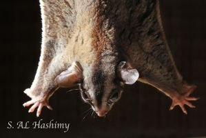 Flying Squirrel by Hashimy