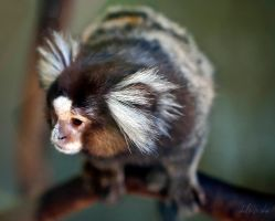 Tiny Marmoset by cheslah