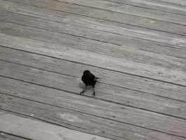 Red Winged Blackbird 02 by Fireborn46
