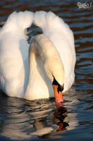 swan by LisaFPhotography