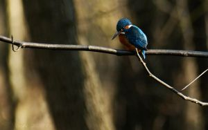 Eurasian Kingfisher by webcruiser