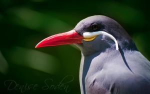 Inca Tern by DeniseSoden