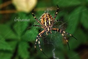 Spider by irinama