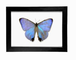 Pearl Morpho Display (Morpho sulkowskyi) by TheButterflyBabe