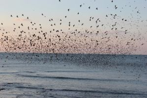 Aberystwyth Starlings by starry-eyed07