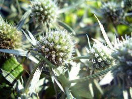 Thistles flowers 2 by Shtefhan