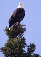 Wild Alaskan Bald Eagle by LadyArwynn16