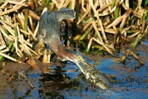 Green Heron with Fish by Kippenwolf