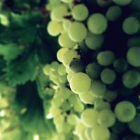 Grapes 2 by AnnaKPhotography