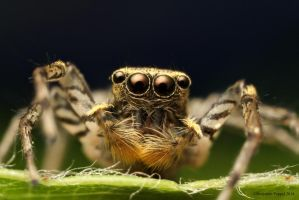 Tiny Jumping Spider by BenjaminPuppel