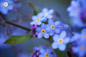 Forget Me Nots by thesashabell