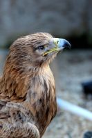 Tawny Eagle (African) 01 by s-kmp