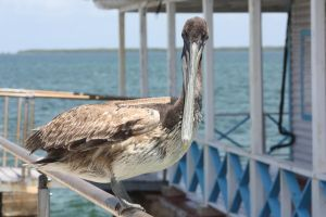 Pelican by AnnabellaTMIID