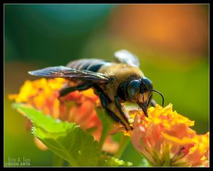 Bee Drinking by Eccoton