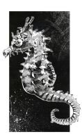 pen and ink sea horse by jaquesmehawf
