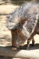 Peccary by amm081