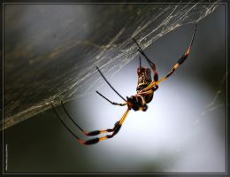 Golden Silk Spider 40D0043538 by Cristian-M