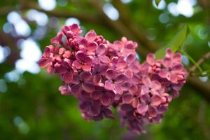 A close-up of lilac by carola-j