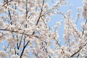Cherry Blossoms Blooms by immatsumaru