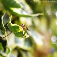 Hoverfly on Ivy by Hitomii