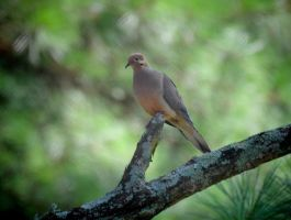 Dove 7-19-10 by Tailgun2009