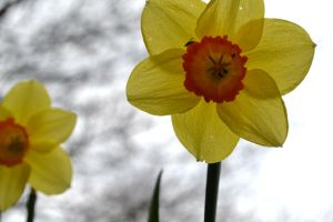 Daffodils by Lady---Vengeance