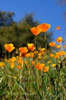 Poppin' Poppies by kayaksailor