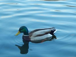 Duck in a Lake by Pyroraptor42