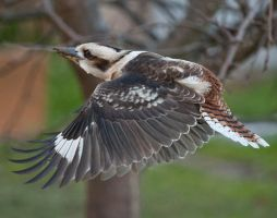 Laughing Kookaburra 04 by 88-Lawstock