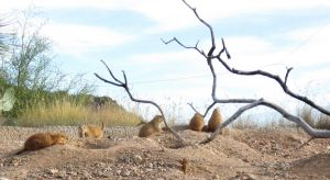 Prairie Dogs by wonderwhatsbehind