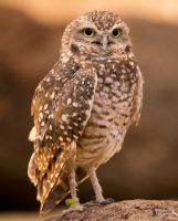 Burrowing Owl 2 by EdgedFeather