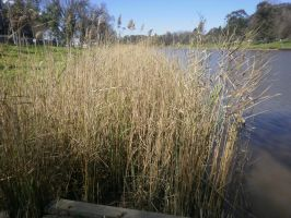 Reeds 2 by LuchareStock