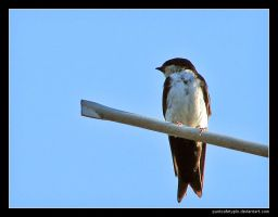 Swallow by punksafetypin