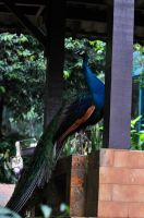 KL-Indian Peacock IV by ImLookingForTime