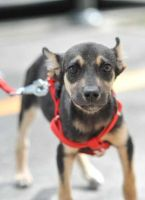 Chip the chihuahua mix by ChesneyCat